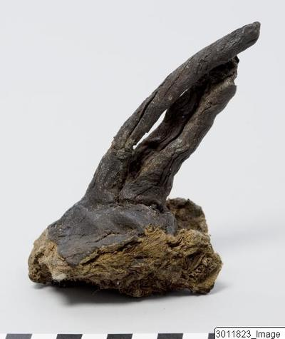 Image showing a fragment of a mummified penis