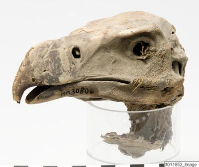 Image showing the cranium of a vulture that has been mummified