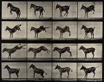 A horse rearing and bucking. Photogravure after Eadweard Muy