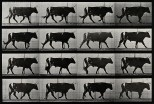 A bull walking. Photogravure after Eadweard Muybridge, 1887.