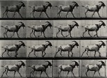 A goat walking. Photogravure after Eadweard Muybridge, 1887.