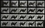 A double humpback camel running. Photogravure after Eadweard