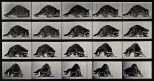A racoon turning. Photogravure after Eadweard Muybridge, 188
