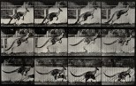 A kangaroo jumping. Photogravure after Eadweard Muybridge, 1