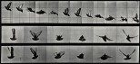A cockatoo flying. Photogravure after Eadweard Muybridge, 18