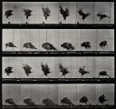 An eagle landing. Photogravure after Eadweard Muybridge, 188