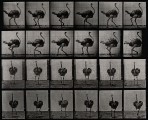 An ostrich walking. Photogravure after Eadweard Muybridge, 1