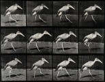 A stork walking. Photogravure after Eadweard Muybridge, 1887