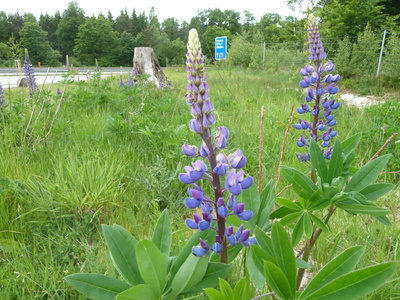 Lupinus polyphyllos Lindl.